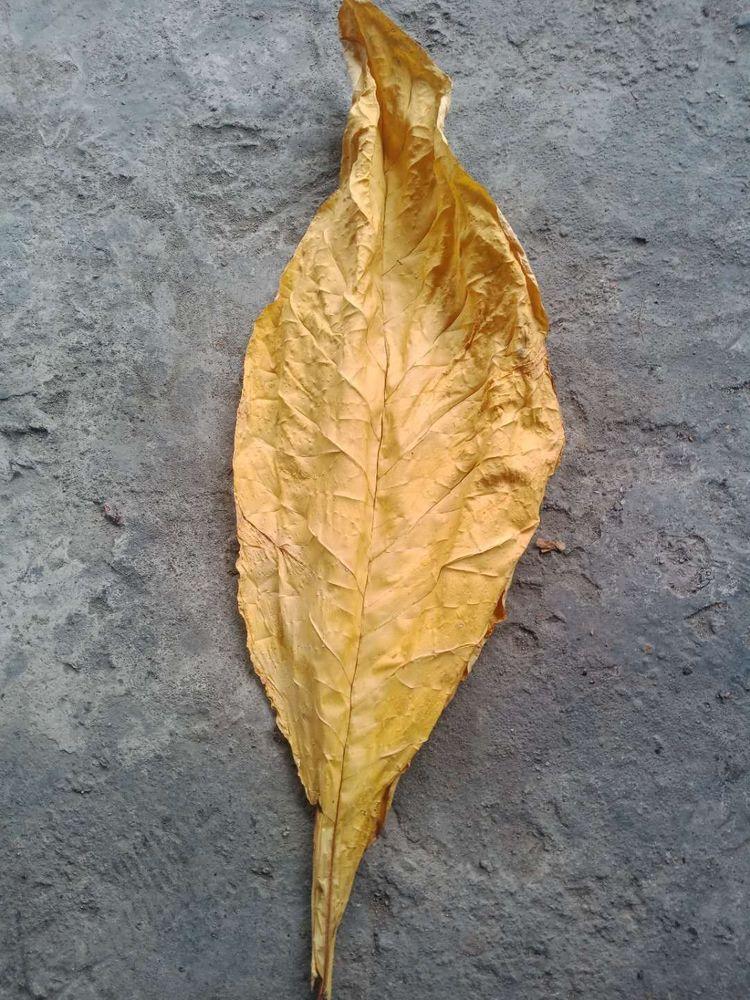 多雨季节烟叶烘烤注意事项?烟叶初烤前有哪些注意事项?